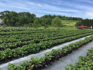 5-gal-grow-bag-in-field