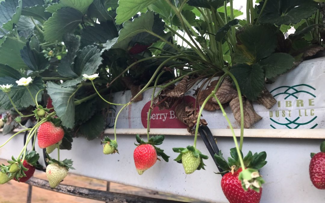 Considering Greenhouse Strawberries? Here's what you need to know!