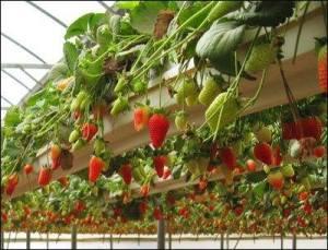 strawberries-overhead