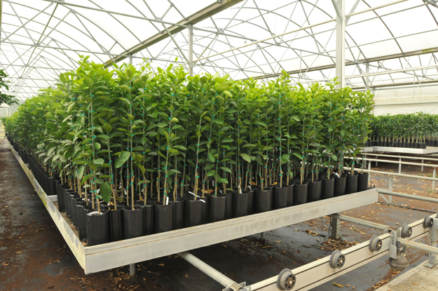 Citrus Liners and Greenhouse Efficiency