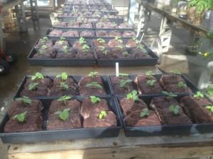 Seedlings in cubes