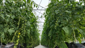 march-farm-tomato-plants-in-growbags