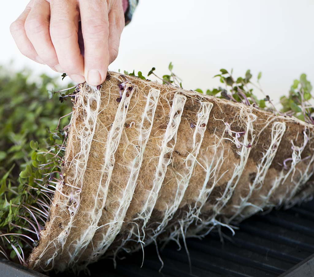 The Easy Way To Grow Microgreens At Home Fibredust
