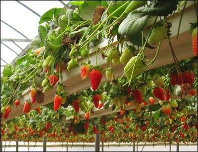 Strawberries Growing Strong In Coir Fibredust
